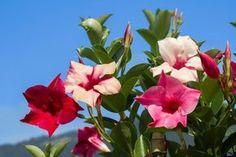 Dipladenia, Mandevilla - Pflege, Vermehren & Überwintern
