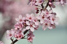 Pretty Pink Cherry Blossom Flowers tree branch spring photography