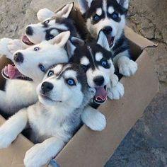 Follow @aroundtheworldpix for more amazing travel & nature posts! Box Full of Huskies 😍