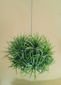 Hanging Mexican Clump air plant on wire. $16.00, via Etsy.-- This will probably go in the shower.  I blame Apartment Therapy for this new obsession.