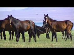 video of wild horses - The Walker Lake herd - I live an hour from here, and see these horses often.