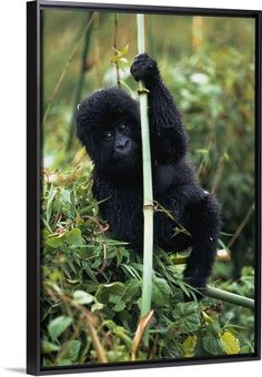 Close-up Of Young Gorilla Looking At Camera Canvas Art - Jim Holmes Design Pics x Gorillas In The Mist, Baby Gorillas, Wall Art Prints, Framed Prints, Canvas Prints, Silverback Gorilla, Primates, Botanical Prints, Close Up