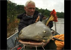 Red-tail catfish... you can find these in the Amazon River, we have some on exhibit for Amazon Voyage: Vicious Fishes & Other Riches.