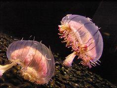 Flower Hat Jellyfish, Monterey Bay Aquarium by Fred Hsu, wikipedia. #Jellyfish #Flower_Hat_Jellyfish #Fred_Hsu#wikipedia