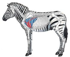 Zebra Shot Placement Guide - zebra herds have a strict hierarchy among females and juveniles and will often move in single file - the most senior at the front Big Game Hunting, Hunting Tips, Archery Hunting, Bow Hunting, Hunting Stuff, Africa Hunting, Safari, Reloading Bench, Feltro