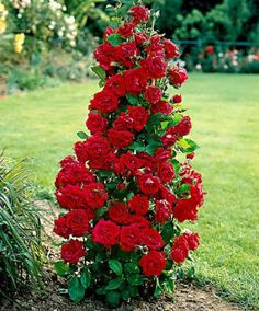 Fountain Rose 'Excelsa' | Roses from Spalding Bulb