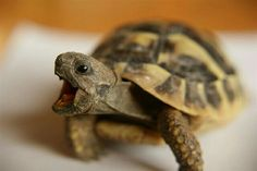 Are you thinking of buying a tortoise to keep? If so there are some important things to consider. Tortoise pet care takes some planning if you want to be. Cute Tortoise, Tortoise Food, Tortoise Habitat, Tortoise Table, Baby Tortoise, Sulcata Tortoise, Tortoise House, Pet Turtle, Turtle Love