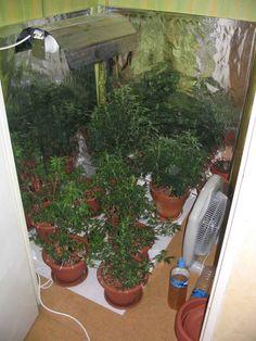 plante-cannabis7.jpg (800×1067)