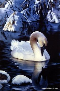 "The majestic swan rests in the snowy waters in Jerry Gadamus' Winter Reflections. Image Size 12"" x 8"" Open Edition"