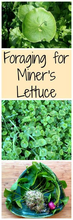 Miner\'s lettuce is an easy for forage for wild green that is tasty and nutritious!