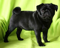 Black Pug. Beautiful pooch. #sable #pug #precious