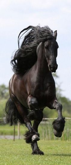 The Friesian is a horse breed originating in Friesland, in the Netherlands. Although the conformation of the breed resembles that of a light draught horse, Friezians are graceful and nimble for their size
