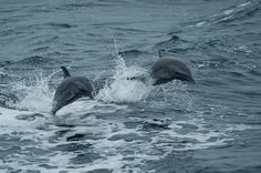 https://flic.kr/p/8zx2Gc | dolphins | Check out daily blog, photo, and video  updates from our Gulf expedition. Text OCEAN to 50555 to donate $10 in support of Oceana's work.  Oceana/Carlos Suarez
