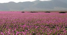 Fotos impressionantes mostram deserto do Atacama coberto de flores