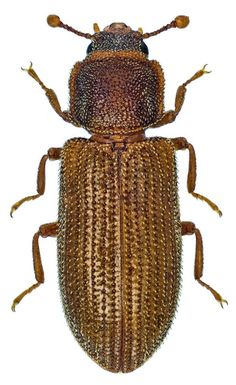 Synchita humeralis Ancestry Records, Bugs And Insects, Beetles, Tattoo Drawings, Club, Nature, Photography, Art, World