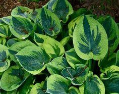 453 best hostas images hosta plants outdoor plants garden plants rh pinterest com