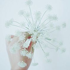 シャクの花 Koiranputki  Anthriscus sylvestris, known as cow parsley, wild chervil,wild beaked parsley, keck,or Queen Anne's lace