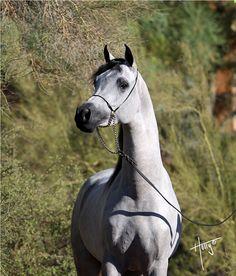 JLS Aayns Al Reejis :: Arabian Expressions - Greg Knowles, Arabian Horses