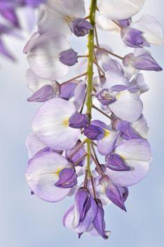 Purple wisteria blossoms