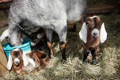 Baby goat triplets at Big Picture Farm, makers of fabulous goat milk caramels. Sooooo cute!