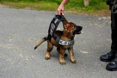 Boston Police - German Shepard Puppy Wears Bulletproof Vest, Wins Over The Internet.  Of course, he has to grow into that harness...