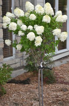 Limelight Hydrangea Tree - All About Garden Hydrangea Tree, Limelight Hydrangea, Hydrangea Garden, Garden Shrubs, Lawn And Garden, Hydrangeas, Hydrangea Landscaping, Landscaping Trees, Outdoor Landscaping