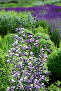 Baptisia 'Purple Smoke' in the Chicago Botanic Garden Beautiful Flowers Garden, Beautiful Gardens, Flowers Perennials, Planting Flowers, Chicago Botanic Garden, Red Plants, Garden Inspiration, Garden Ideas, Farmhouse Garden