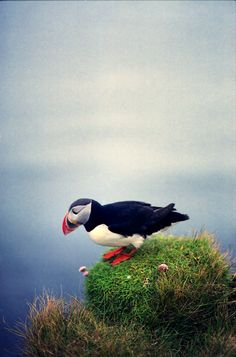 Puffin | by Gunnar Marel