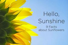 374b3058890539 Hello Sunshine 9 facts about Sunflowers Sunflower Arrangements, Sunflower  Bouquets, Sunflower Delivery, Hello
