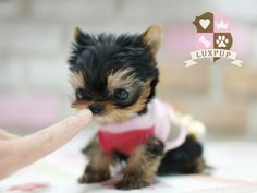 six adorable tea-cup sized puppies blog girlybubble