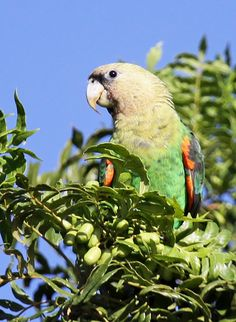 Beautiful Cape parrot feeding in a wild plum tree. They enjoy these fruits when they are green or red. The Cape Parrot Project has planted over 2,000 wild plum trees to provide alternative feeding sites for Cape parrots along the Amathole mountains. (Rodnick Clifton Biljon / Cape Parrot Project) Wild Plum Tree, Birds, Parrots, Cape, Alternative, Trees, Animals, King, Mountains