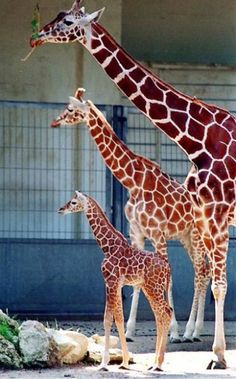 pick a daddy,Mommy snd baby giraffe family . Nature Animals, Animals And Pets, Baby Animals, Funny Animals, Cute Animals, Wild Animals, Baby Elephants, Elephant Baby, Beautiful Creatures