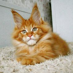 630 Best Maine Coon Cats images in 2019 | Maine coon cats