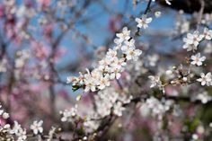plum tree flower