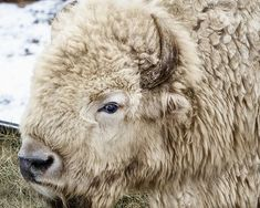 A beautiful and rare white bison, which occurs only in 1 in 10 million births - Mammals Animals Of The World, Animals And Pets, Baby Animals, Cute Animals, Beautiful Creatures, Animals Beautiful, Unusual Animals, Beautiful Beautiful, Live Action