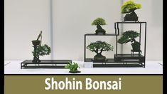 Shohin Bonsai, Bonsai  Europa, 2017, Japanese Maples, Trident Maple, Oli...