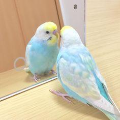 Funny Birds, Cute Birds, Pretty Birds, Beautiful Birds, Animals Beautiful, Budgie Parakeet, Budgies, Cockatiel, Australian Parrots