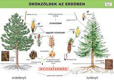 Evergreen Trees, Bird Tree, Science, Cactus Plants, Activities For Kids, Environment, Teaching, Education, School