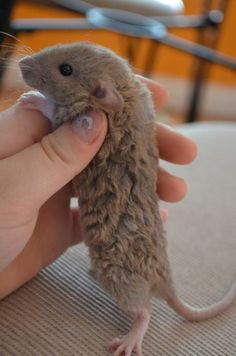"""His sister's name is Bean- obviously after Frances Bean Cobain c: Frances is a Dumbo Mink Bekshire Rex rat. I call him """"mink"""" color because it's easier, but if you look close enough. Funny Rats, Cute Rats, Cute Baby Animals, Animals And Pets, Rats Mignon, Rex Rat, Mink Colour, Color, Pet Mice"""