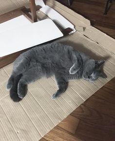 Gato Pickles gosta de fingir que é realeza mas no fundo ama um papelão!