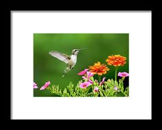 Hummingbird Flying With Flowers Framed Print by Christina Rollo.  All framed prints are professionally printed, framed, assembled, and shipped within 3 - 4 business days and delivered ready-to-hang on your wall. Choose from multiple print sizes and hundreds of frame and mat options.