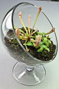 Carnivorous Plant Terrarium- 3 Plants with Elegant Sloped Glass Stand. $41.95, via Etsy.