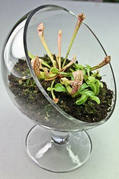 Carnivorous Plant Terrarium- 3 Plants with Elegant Sloped Glass Stand. $41.95, via Etsy.