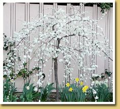 Weeping Santa Rosa Plum Ultra Dwarf Patio Tree. Graceful, showy spring blooms and abundant fruit in the summer! Perfect for small spaces and containers!