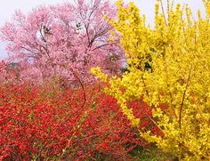 桜とレンギョとボケ