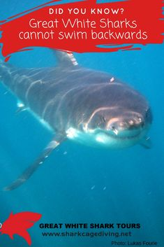 Did you know Great White Sharks cannot swim backwards