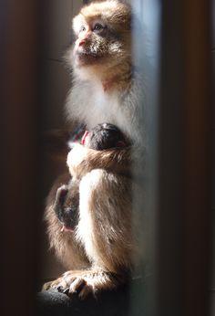 Vanwege onze wachtlijst hebben we bij AAP een anticonceptiebeleid, waardoor er zelden jonge dieren worden geboren. Maar af en toe komt er een dier al zwanger bij ons binnen, zoals deze berberaap, die in quarantaine beviel van een wolk van een baby!