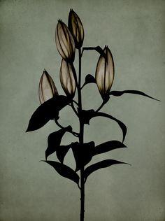 birdcagewalk:  billyandhells:Institut Dark Flowers, Beautiful Flowers, Minimal Photography, Art Photography, Botanical Art, Botanical Illustration, Inspiration Artistique, Motif Floral, Flower Photos
