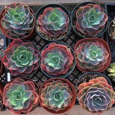 """1,464 Likes, 9 Comments - Succulents & Cacti (@leafandclay) on Instagram: """"Oh hey, E. 'Cassyz Winter' you look pretty great when you're stressed!! 😍🌵6"""" beauties have been…"""""""