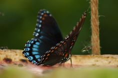 redspottedpurple by klbarr, via Flickr